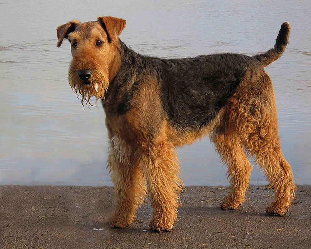 Color Airedale
