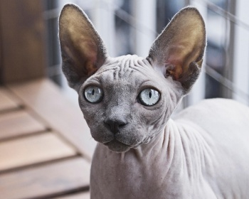 Petersburg Sphinx (Petersburg) Peterbald